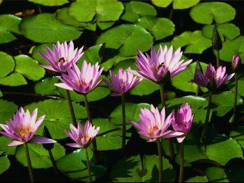 Lilie wodne.jpg